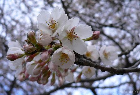 Sakura083026_2