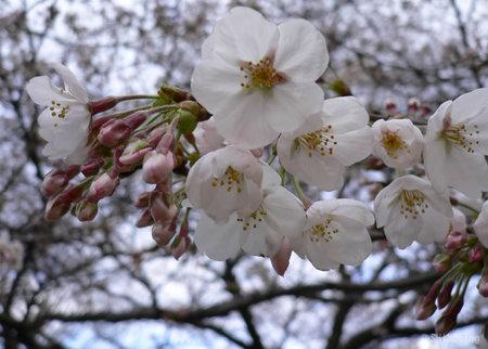 Sakura083026_3