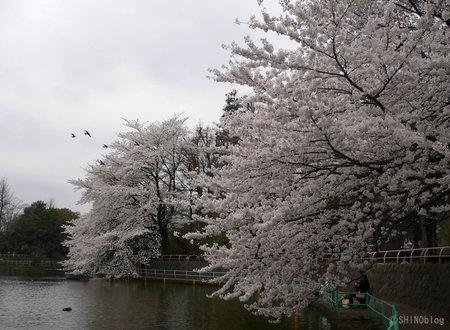 Sakura0330_1