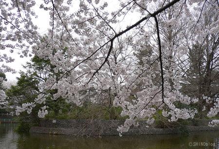 Sakura0330_2