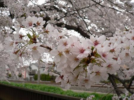 Sakura0330_3