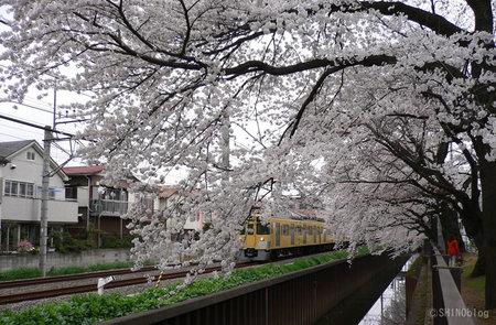 Sakura0330_4