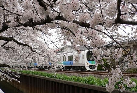 Sakura0330_5