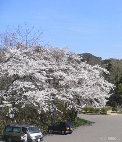 金田一温泉の桜