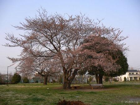 Sakura070328_4