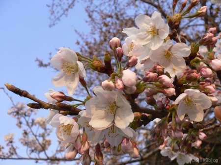 Sakura070328_5