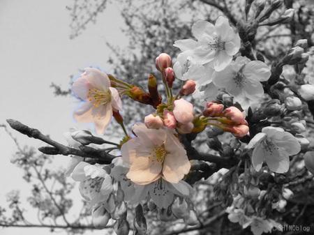 Sakura070328_6