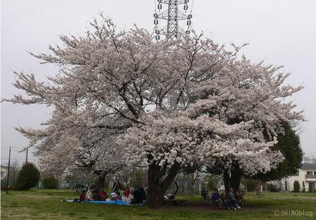 Sakura070402_1