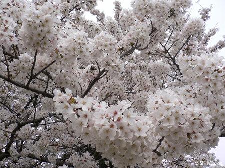 Sakura070402_2