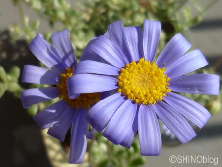 薄紫がかわいい